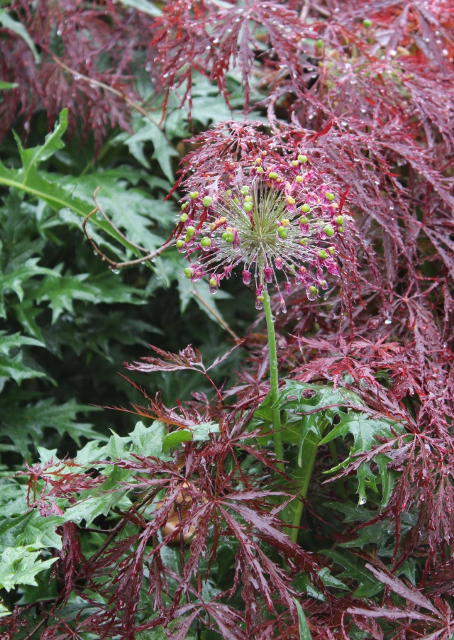 Acanthus spinosa and Red Dragon maple, with the seed head of a Purple Sensation allium in the middle.