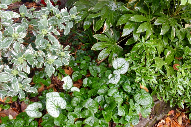 Alarm canadense, Daphne atrovariegata, Brunnera 'Jack Frost, variegated Fatsia, and Hydrangea tricolor playing nice in the front yard.