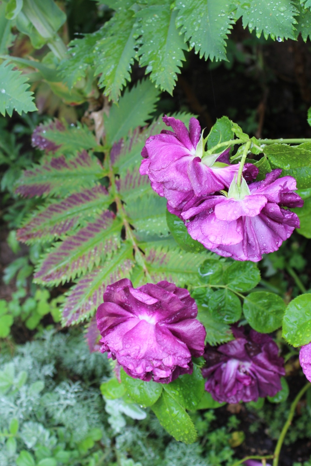 Weighted down by rain, the heavy roses reflect beautifully against the purple striations of a Melianthus leaf. Not sure why they sometimes develop purple markings, but I think it has to do with heat stress. If you know, please enlighten me!