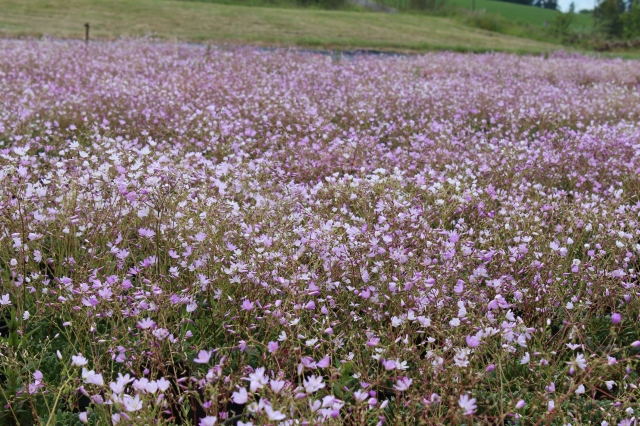 A field of... um...Lewisias? Not exactly sure, but it was really pretty.