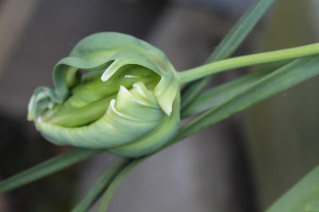 Tulipa viridiflora