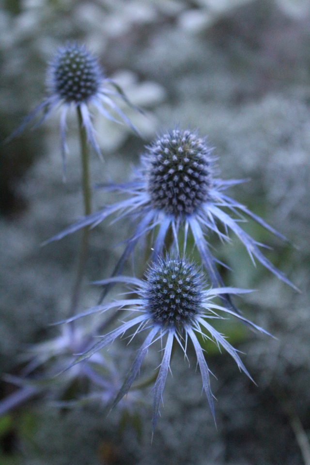 An almost unlikely blue color on Eryngium.