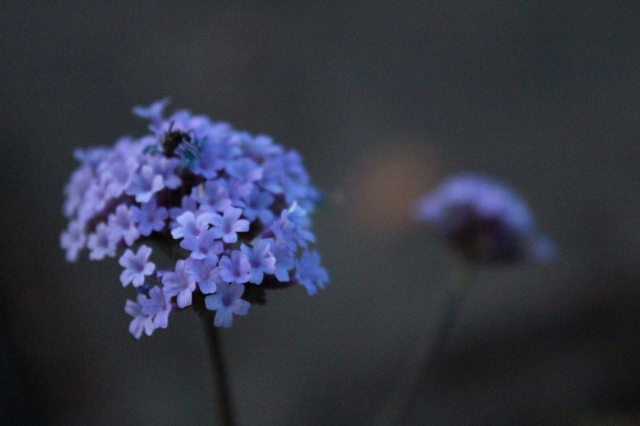Not as tall as its brother, but it packs a punch nonetheless - Verbena bonariensis 'Lollipop'.