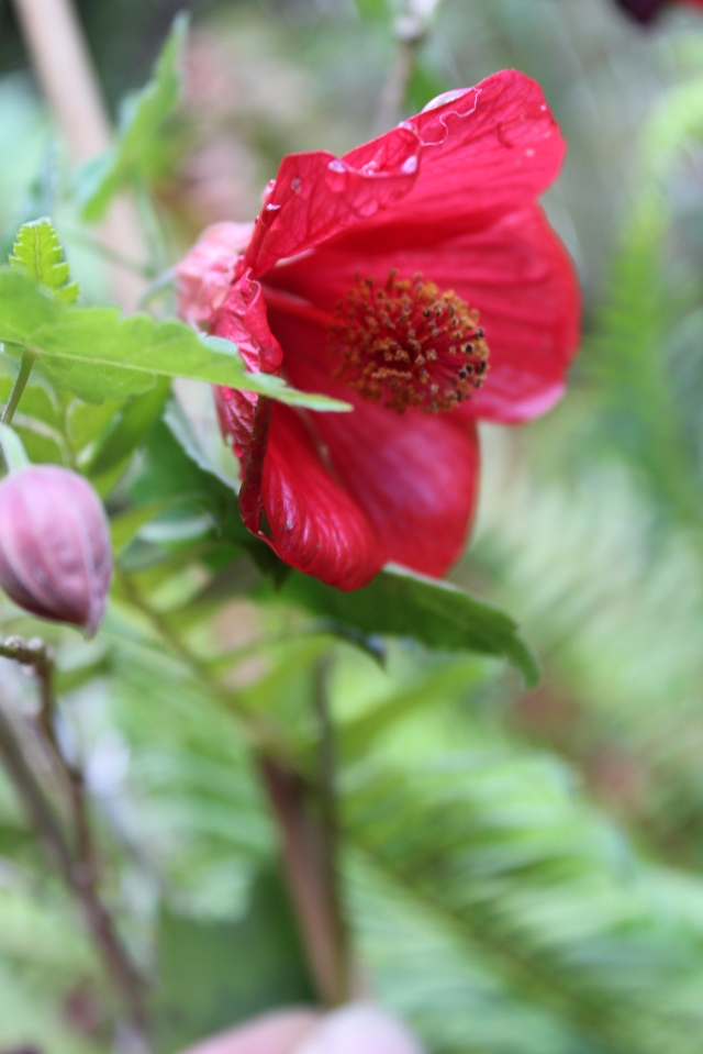 A pretty red Abutilon is in full bloom.