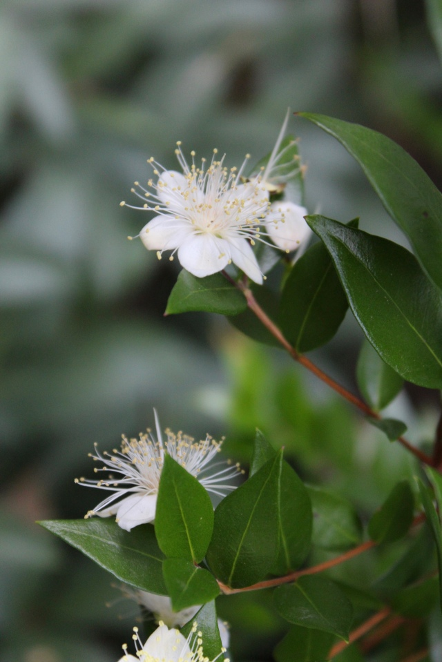 Myrtus communis - the common Myrtle is blooming.