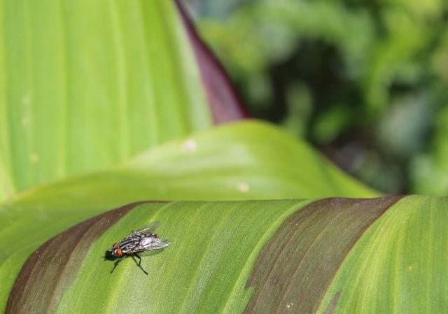 Fly on Canna