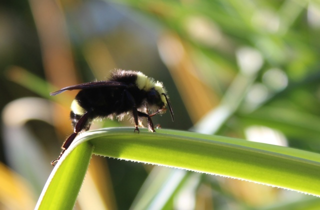 Resting bumble bee