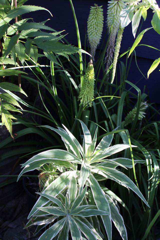 Kniphofia 'Percy's Pride', a green flowering Amaranth, and the foliage rosettes of Echium cancans.