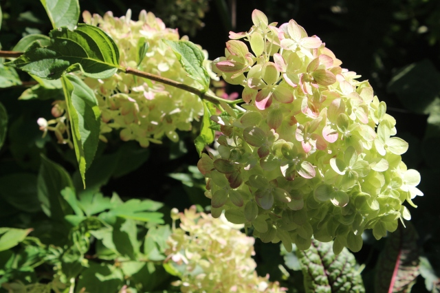 More green flowers! Hydrangea 'Little Lime' is taking on a few pink tones, but is still noticeably green - hooray!