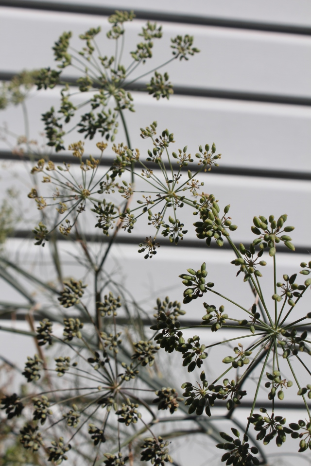 Bronze Fennel seed heads