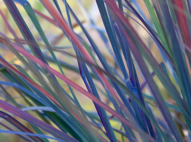 Normally a beautiful, cool bluish green, Little bluestem grass blows me away when the weather cools, and its colors turn. The exquisite coloring of this grass brings me joy on a daily basis, this time of year. Wish I had room for drifts of it...