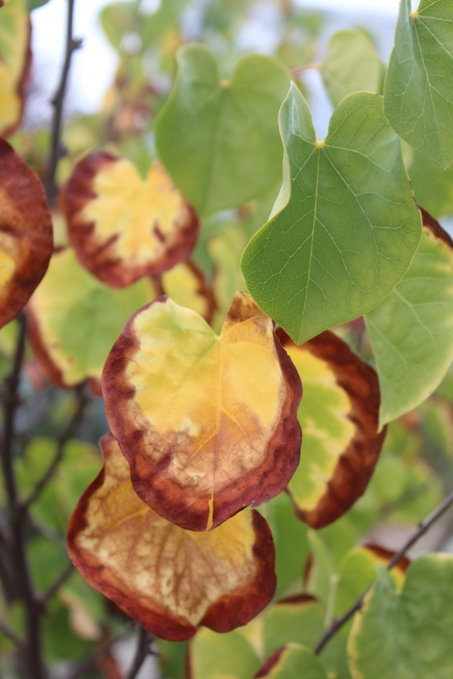 Here is a close-up of a Cercis leaf I found particularly lovely.