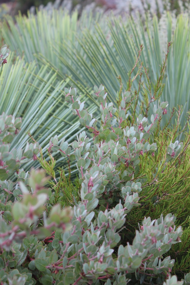 This was one of the first photos I took. Arctostaphylos and Yucca linearifolia.