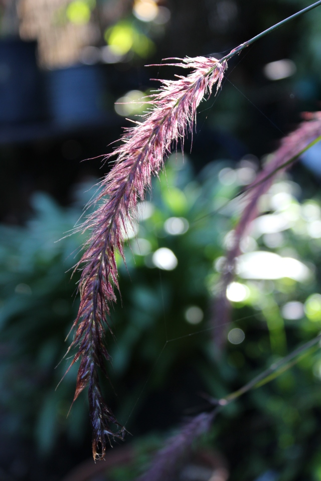 Wet, and looking droopier than normal, the tails of Pennisetum purpureum are still pretty.