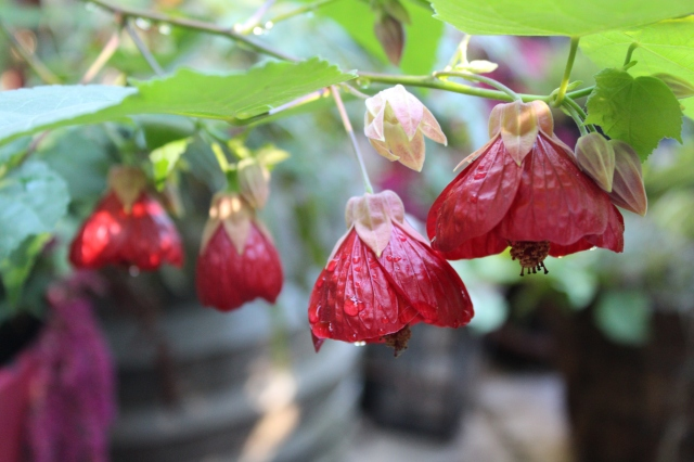My red Abutilon is still going strong.
