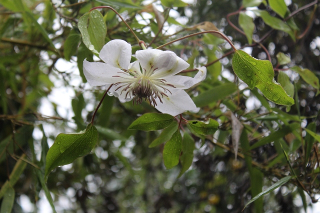 Clematis henryi is still blooming - it is quite the trooper.