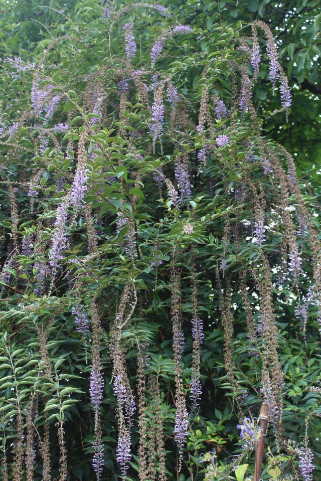 Such an amazing shrub - Buddleja lindleyana.