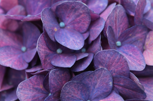 Such deep rich color. Not sure which Hydrangea this is, but it is exquisite!