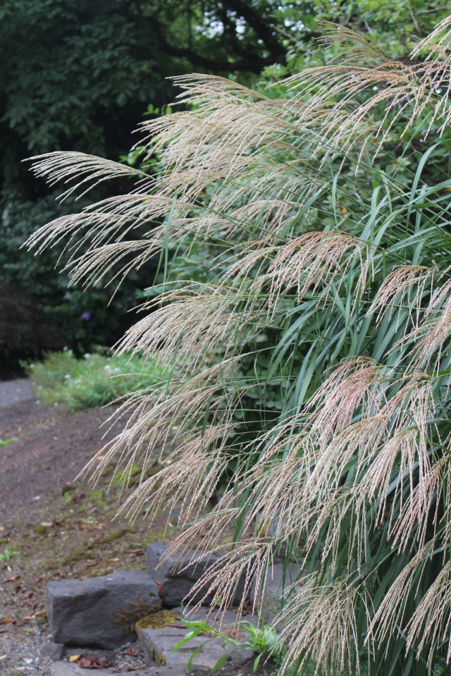 Miscanthus flowers