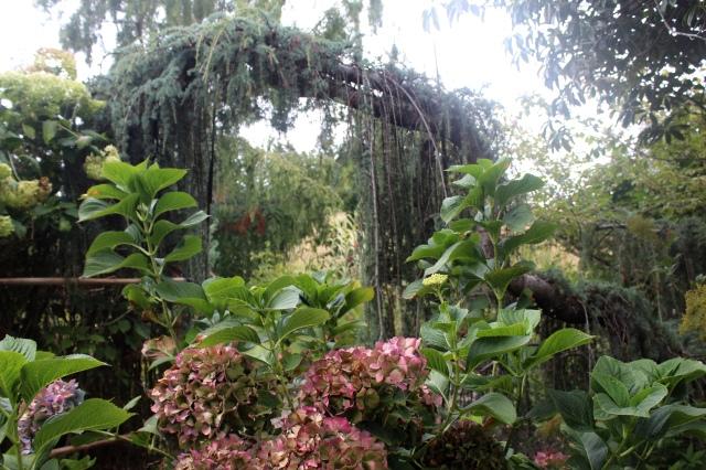 Atlas Cedar arch at Joy Creek.