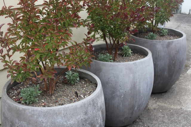 Lagerstroemia 'Cheyenne' in concrete planters