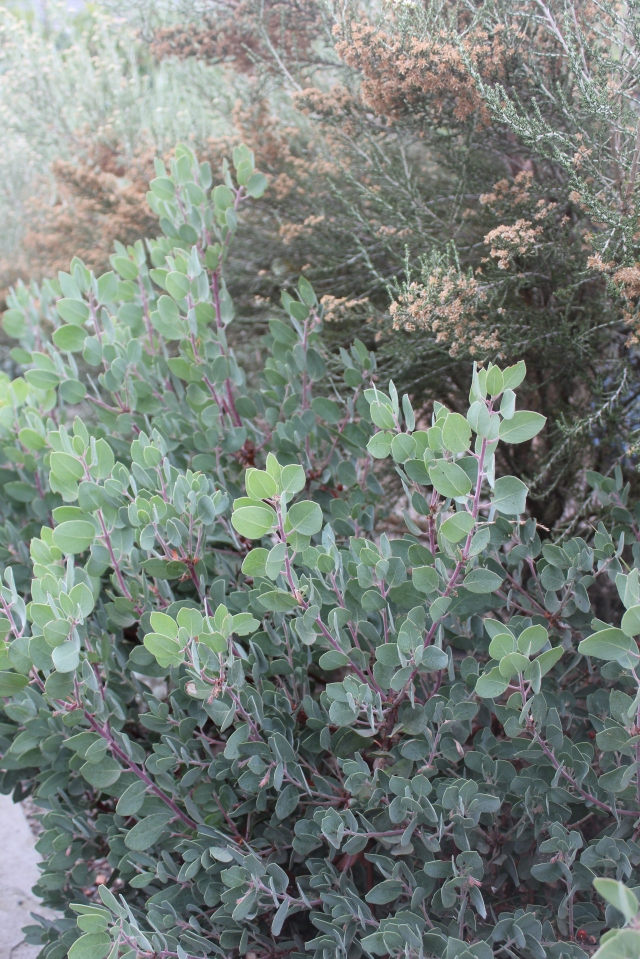 Arctostaphylos and Ozothamnus?