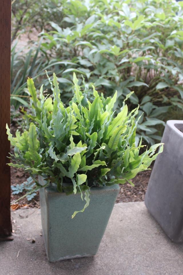 Asplenium fern