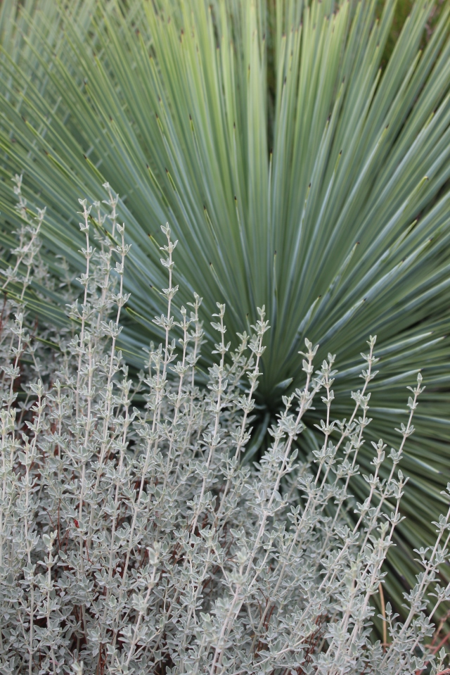 Agave linearifolia