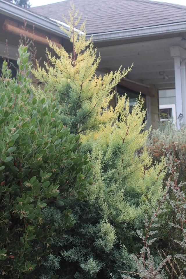 Cupressus glabra 'Suplphurea'