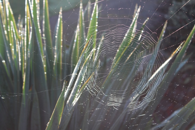 Cobweb and Yucca