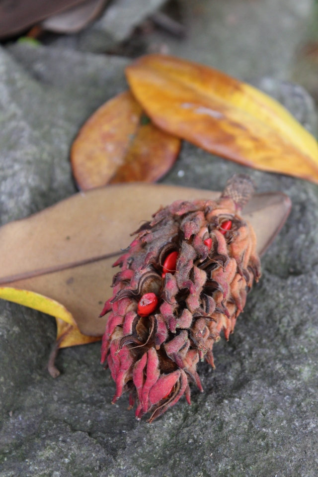 The seeds in my beloved Magnolia grandiflora seed pods glow like red little jewels.