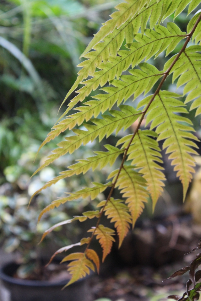 This one has truly taken off  since the weather cooled a little; Woodwardia orientalis is putting out new fronds.