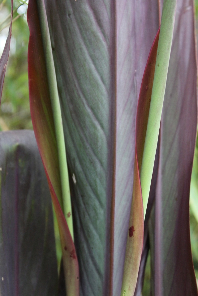 Canna 'Intrigue' is still developing new leaves. It hasn't bloomed yet (I don't think it gets enough sun), but I honestly don't mind. It's the leaves I'm after.