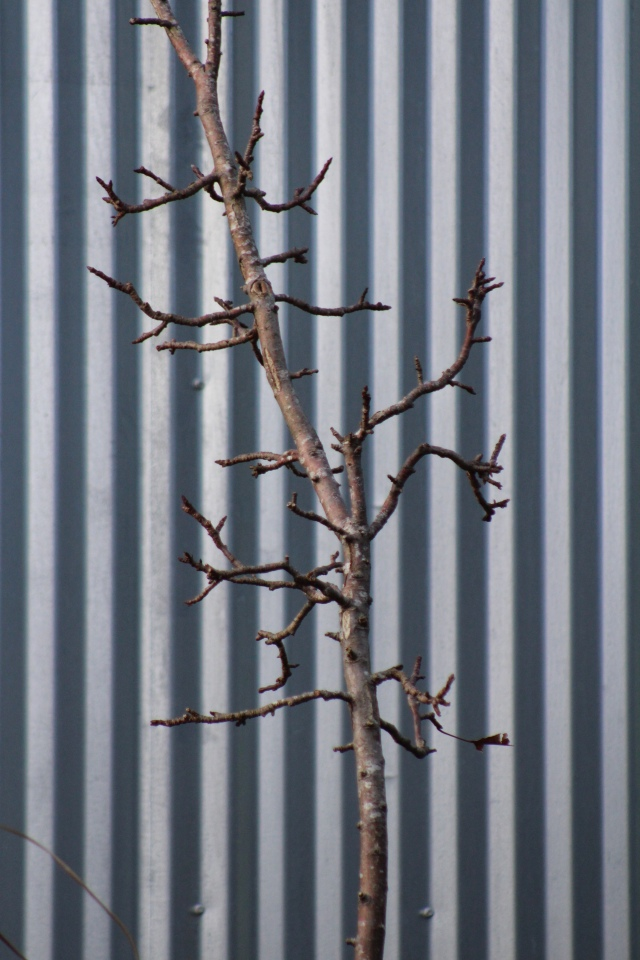 Here, a columnar apple tree is waiting for its forever home, and looking artistically composed against the industrial sleekness of the corrugated steel, while doing so. The rigid linearity of one, offsets the gnarly forms of the other. If you're looking for winter interest, look no further.