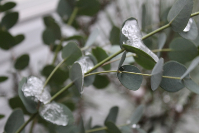 Eucalyptus in snow
