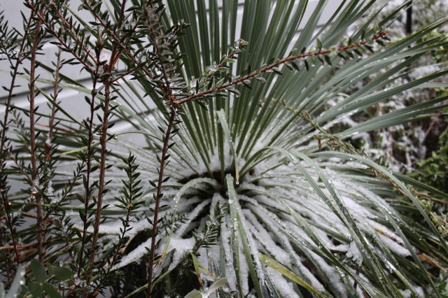 Yucca rostrata with ice