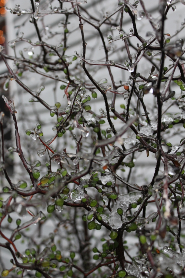 Corokia cotoneaster's twiggy appearance always looks great covered in ice.