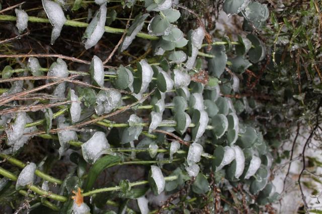 Parahebe perfoliata in snow