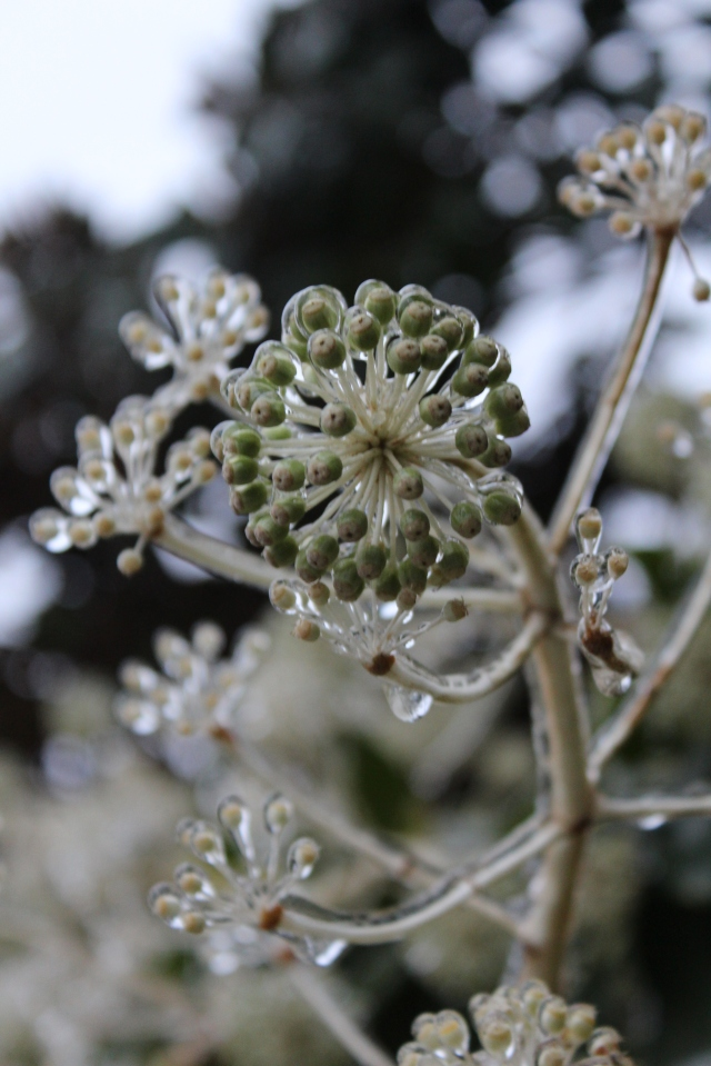 Frozen Fatsia flower