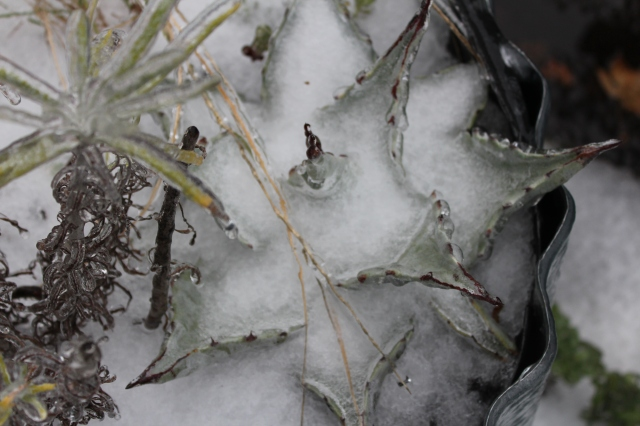 Agave covered in snow