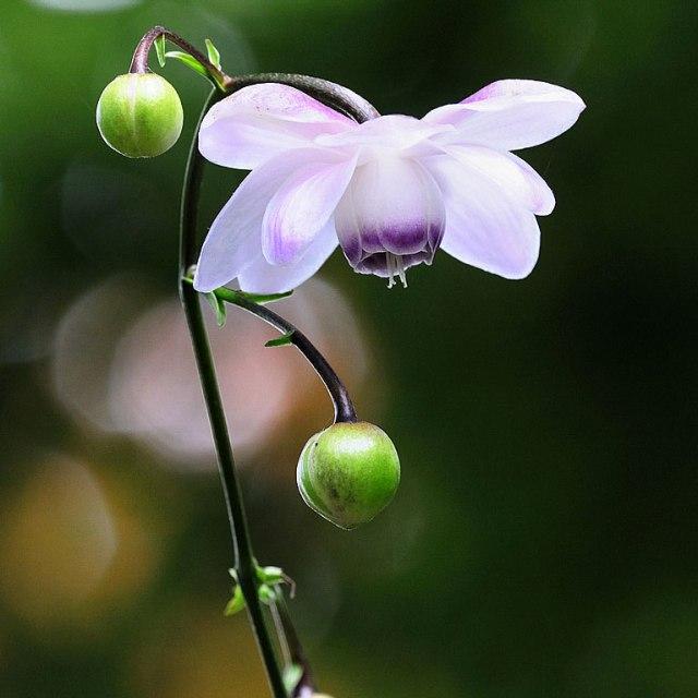 anemonopsis-macrophylla-impecta