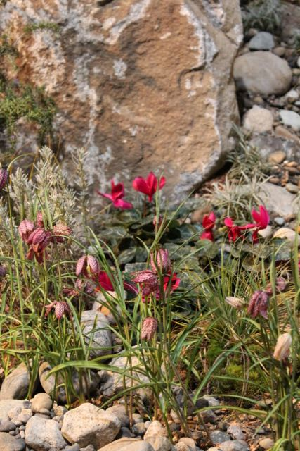 This one I really liked - Cyclamen and Fritillarias - and some rock for them to stand out against.
