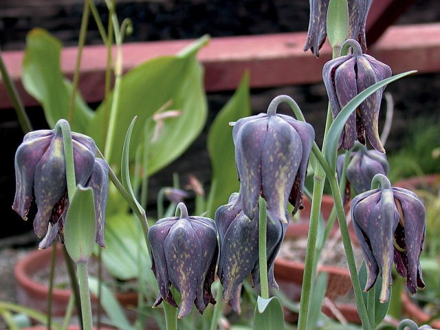 I have a fondness for black flowers. There is a slight chance that Fritillaria affinis might turn out yellow with a dark checker pattern instead, but I took a chance. Photo by Pacific Horticulture.