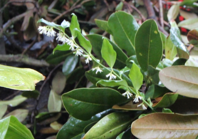 Sarcococca flowers