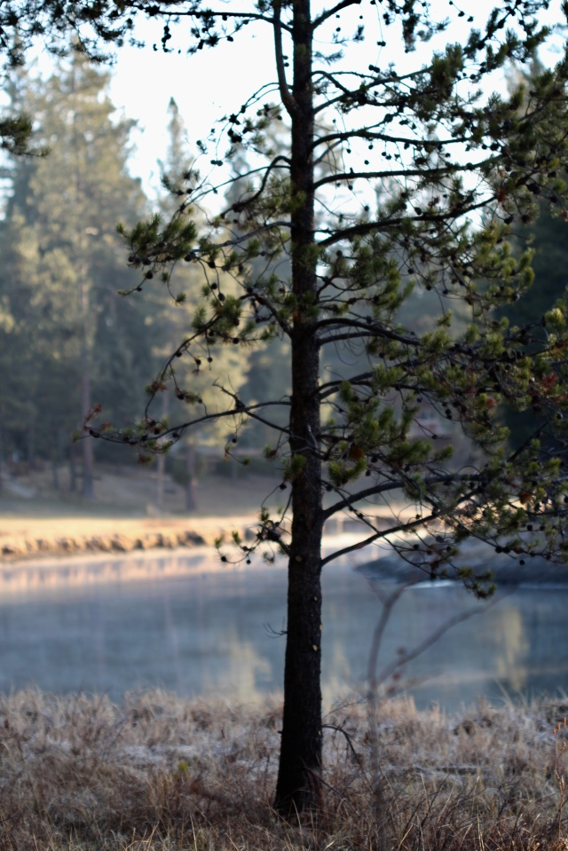 Young pine by the Deschutes