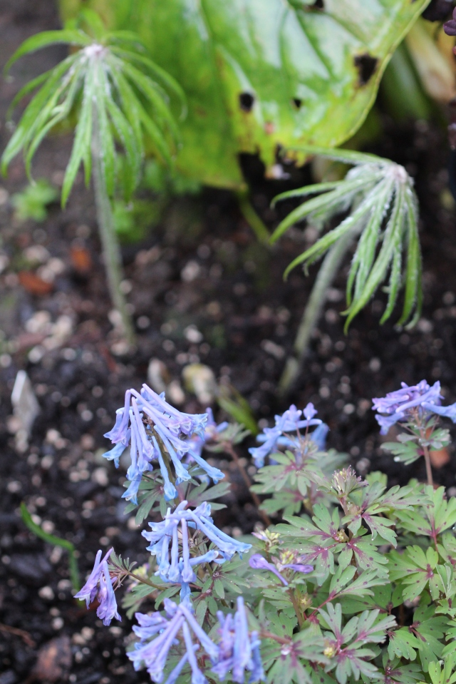 Syneilesis and Dicentra combo
