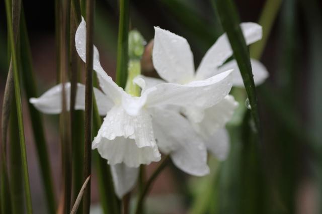 Thalia narcissi