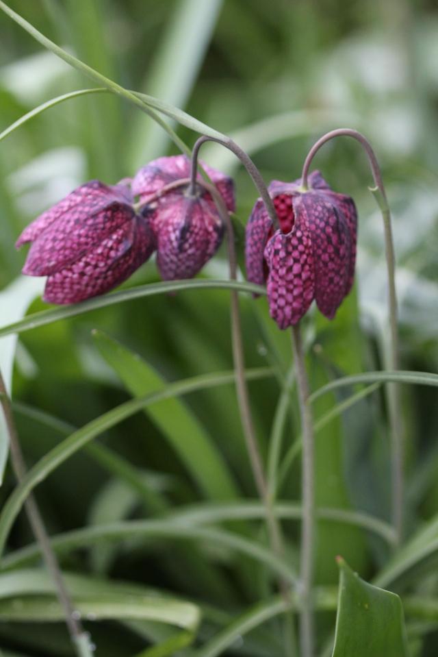 Checkered Fritillarias