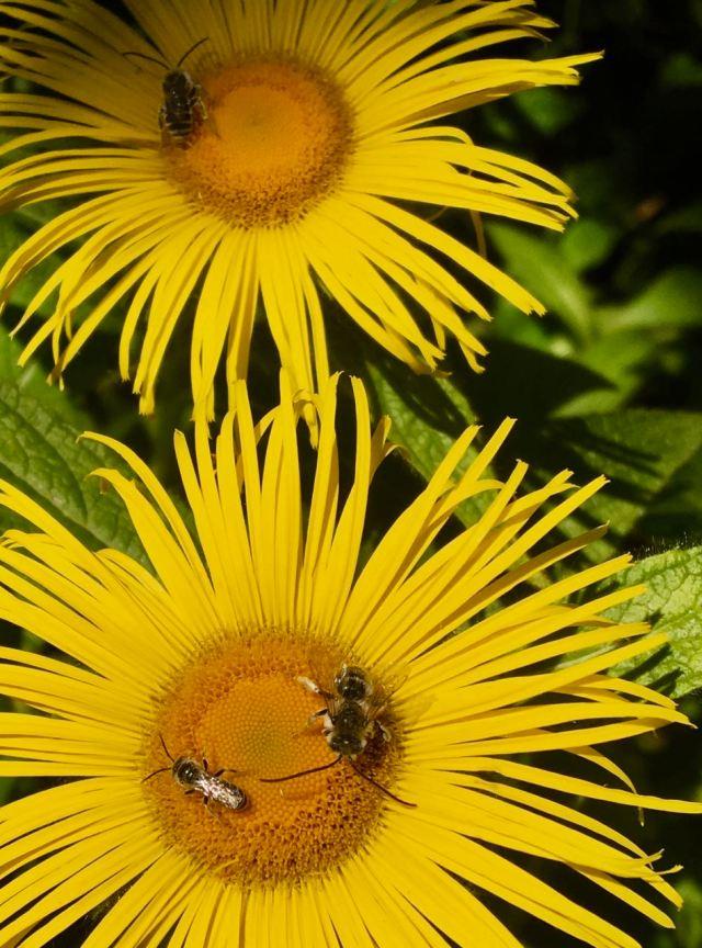Bees on Innula