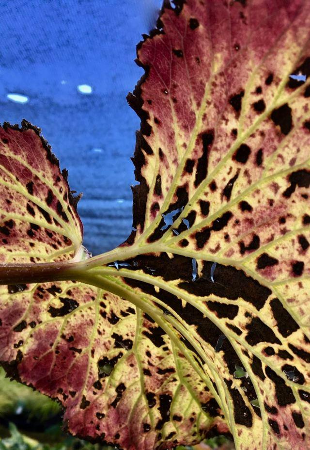 Burnt Ligularia leaf